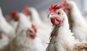 Каневская ветслужба напоминает о правилах недопущения птичьего гриппа